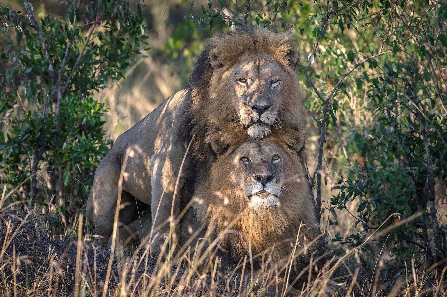 Deux lions mâles copulant au Kenya
