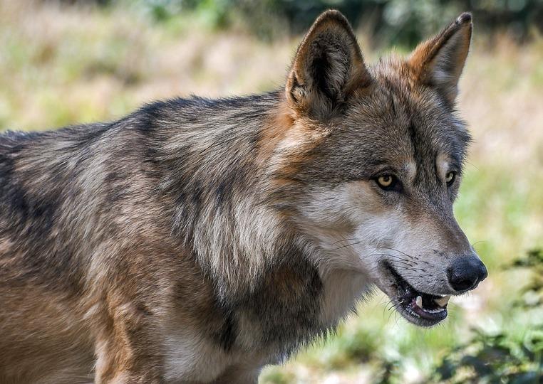 Carnivores : un danger avec les loups ?