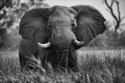 Photographie d'un éléphant en noir et blanc